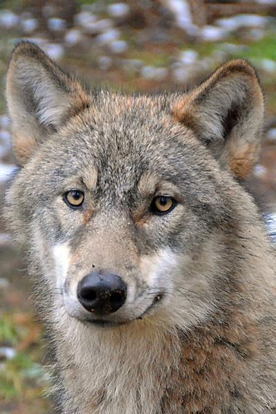 19. Eekholter Wolfsnächte 2014