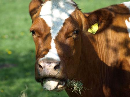 Kälber müssen qualvoll sterben – Jährlich werden 180.000 trächtige Kühe geschlachtet