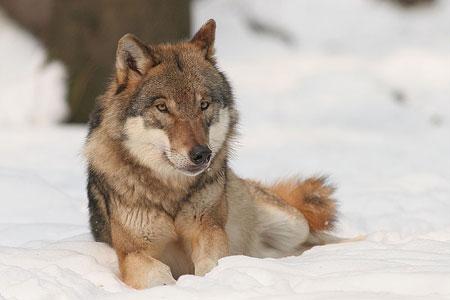 Wolf auf der A24 von Auto getötet