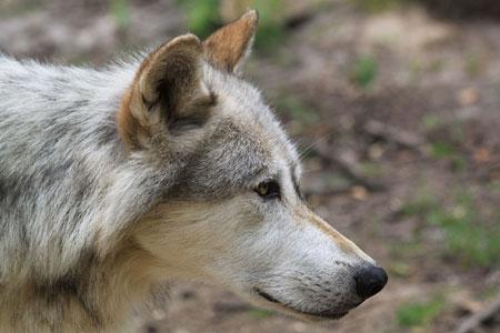 Der Wolf rückt näher! Wolf reißt zwei Schafe bei Büsum