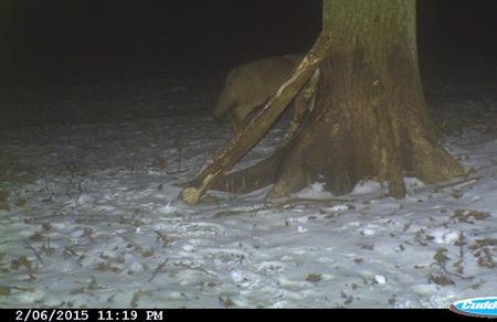 Und noch ein Wolf in Schleswig-Holstein gesichtet