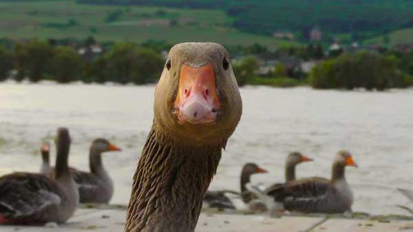 Weitere Ausbreitung der Vogelgrippe: Flensburg Sperrbezirk – Wildvogel im Kreis Steinburg