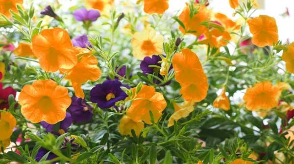 Orangefarbene gentechnisch veränderte Petunien auch in Schleswig-Holstein entdeckt – müssen vernichtet werden