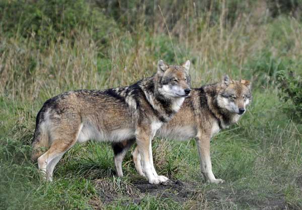 Noch drei weitere Wölfe in Schleswig-Holstein nachgewiesen