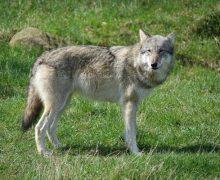 Wolf bei Wesselburen gesichtet