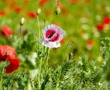 Umweltminister Robert Habeck startet Initiative für mehr Blüten in der Landschaft