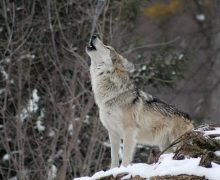 Risse hinter wolfssicheren Zäunen