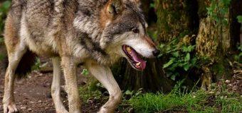 """Ausnahmegenehmigung für """"Entnahme"""" eines Wolfes erteilt"""