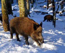 Heide: Afrikanische Schweinepest: Hinweise für die Hobbytierhaltung