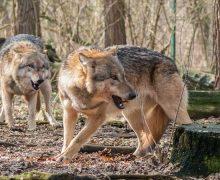 Angekündigte Wolfspräventionsgebiete treten am 15. März in Kraft