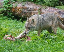 Freuen sich die Hirten: Wölfe dürfen schneller abgeschossen werden