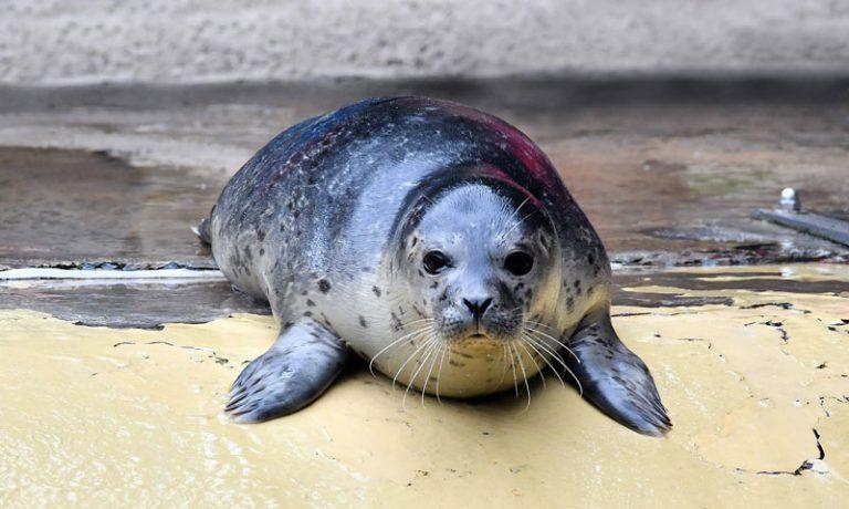 Zoo Rostock: Kleines Seehundmädchen hört nun auf den Namen Lotte