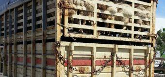 Landwirtschaftsminister Jan Philipp Albrecht untersagt Tiertransporte über einzelne Routen in Russland
