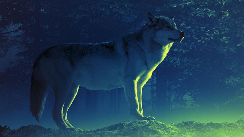 """Schleswig-Holsteins """"Problem-Wolf"""" ist wahrscheinlich nach Meck-Pomm """"geflüchtet"""""""