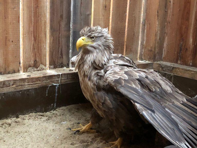 Wildpark Eekholt: Bleivergifteter Adler kann wieder in die Freiheit fliegen