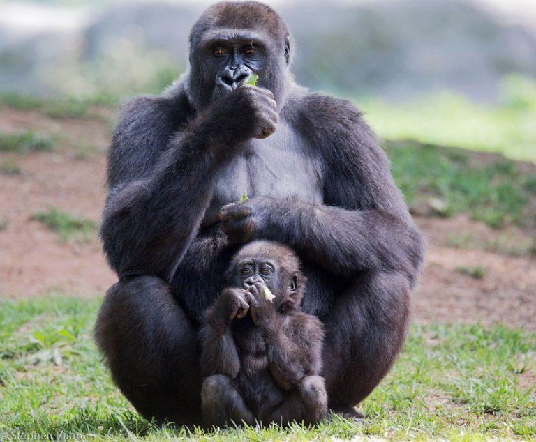 Kesha und Moyo heißen die ersten Gorillababys im Zoo Rostock